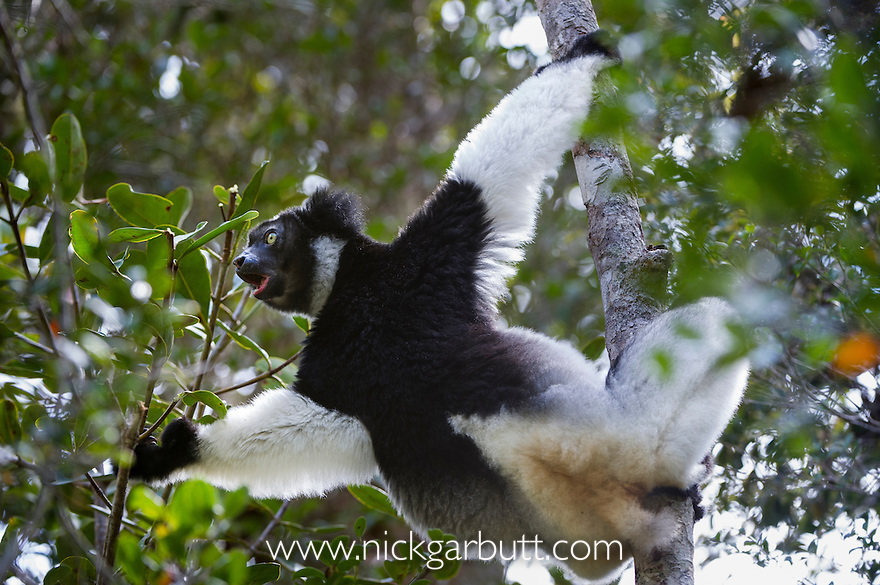 Adult Indri (Indri indri) (Endangered) feeding in rainforest canopy. Andasibe-Mantadia NP, east Madagascar. IUCN: Endangered.