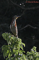 0831-06xx  Green heron - Butorides virescens © David Kuhn/Dwight Kuhn Photography