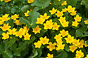 Marsh marigold (Caltha palustris), late March.