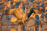 Sandhill Crane Mating & Display