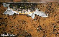 0115-0902  Diamondback Terrapin Swimming Underwater, Malaclemys terrapin  © David Kuhn/Dwight Kuhn Photography.