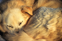 Sled dog rests during the Yukon Quest, a thousand mile race to Whitehorse, Canada from Fairbanks, Alaska.