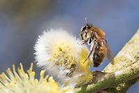 Weidensandbiene, Weiden-Sandbiene, Frühe Sandbiene, Sandbiene, beim Blütenbesuch an Salweide, Sal-Weide, Weide, Salix, Andrena spec., Sallow Mining-Bee, Sallow Mining Bee, mining bee, burrowing bee, Sandbienen, mining bees, burrowing bees, aus der Andrena helvola-Gruppe