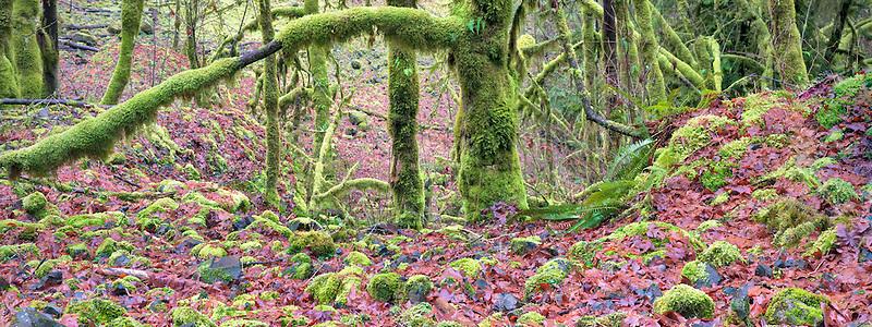 Moss on trees and rocks  Eagle Creek Basin. Columbia River Gorge National Scenic Area, Oregon
