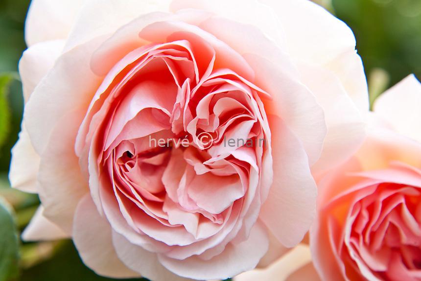 Rosa 'A Shropshire Lad', rose 'A Shropshire Lad'. (obtenteur Austin)