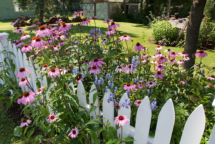 Backyard Garden With Pink Echinacea Purple Coneflowers, White Picket Fence,  Blue Monkshood Aconitum X