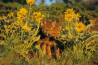 Gray wolf or timber wolf pups (Canis lupus)