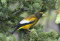 Evening Grosbeak - Coccothraustes vespertina - male
