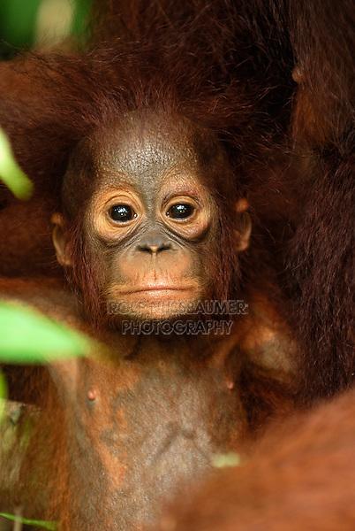 Borneo Orangutan baby (Pongo pygmaeus), young, Camp Leaky, Tanjung Puting National Park, Kalimantan, Borneo, Indonesia
