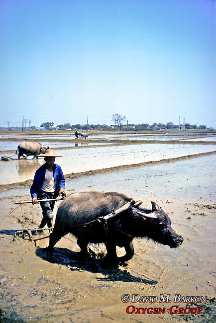 Man Plowing Field With Ox