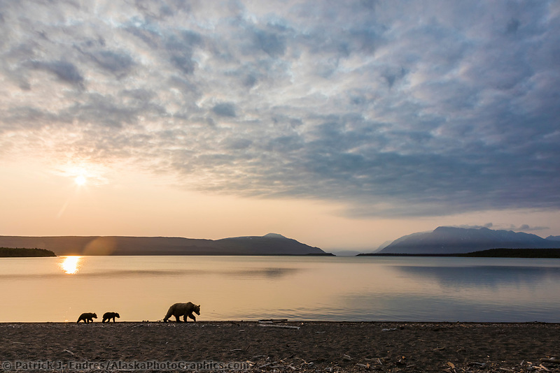 Brown bear spring cubs walk along the shore of Naknek lake at sunrise, in Katmai National Park, Alaska