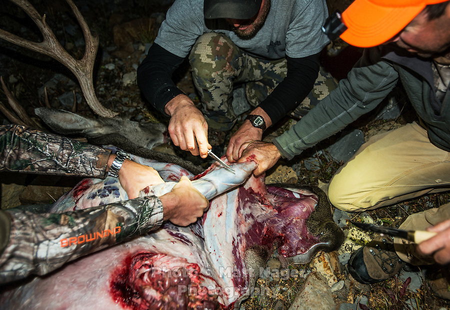 Outdoor Life Editor Andrew McKean, Mike Stock, and guide Greg Kriese with Trefren Outfitters skin a mule deer after a hunt on Greyback Ridge in the Hoeback Drainage of Wyoming Region H, outside of Alpine, Wyoming, September 21, 2015.<br /> <br /> Photo by Matt Nager