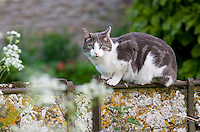 Tabby and white cat on an old stone slab wall, The Cotswolds, Gloucestershire, UK