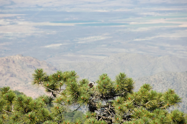 Short-tailed Hawk (Buteo brachyurus) nest, in Arizona Pine (Pinus arizonica), showing high elevation and visibility from above; Arizona, (Nesting Record)
