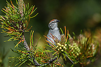 Chipping Sparrow (Spizella passerina) in pine tree, Yellowstone National Park, Montana.  May.