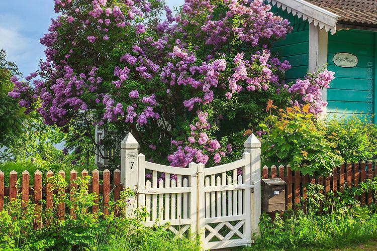 Grind syrener blommar Vaxholm i Stockholms skärgård