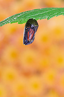 MONARCH BUTTERFLY life cycle..Chrysalis on Joe-Pye leaf. .North America. (Danaus plexippus).