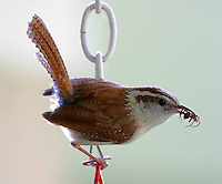 Carolina wren with ant. Nest was just below.