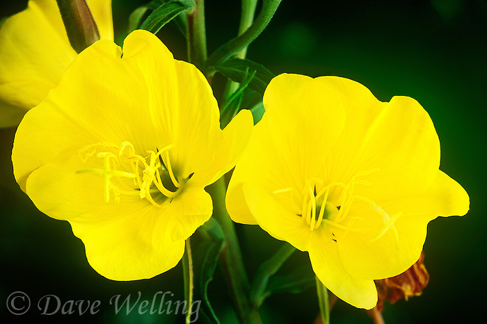 169710001 a wild evening primrose native flowering plant oenothera hookeri produces very large bright yellow flowers in its forest habitat in the eastern sierras in central california