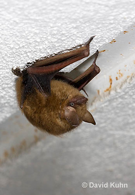 0411-1010  Little Brown Bat (syn. Little Brown Myotis), Myotis lucifugus  © David Kuhn/Dwight Kuhn Photography.