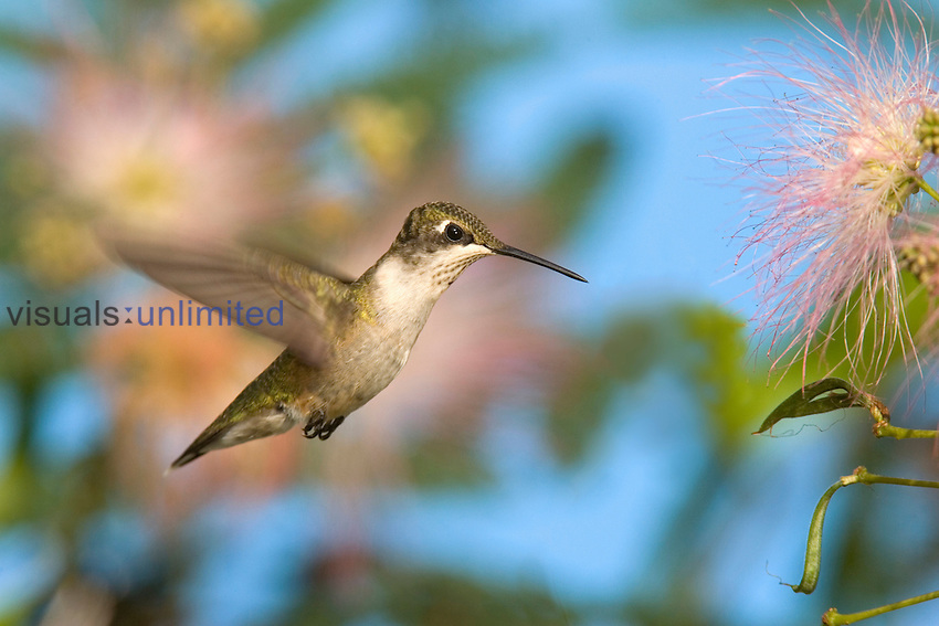 Female Ruby-throated Hummingbird (Archilochus colubris) hovering near a flower, Eastern USA.
