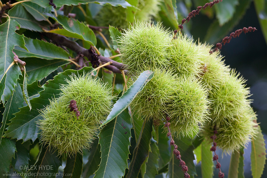 Chestnuts on Sweet Chestnut tree (Castanea sativa), Nottinghamshire, UK. October.