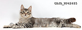 Kim, ANIMALS, REALISTISCHE TIERE, ANIMALES REALISTICOS, fondless, photos,+Silver tabby kitten, Loki, 3 months old, lying spread out and and relaxing,++++,GBJBWP42485,#a#