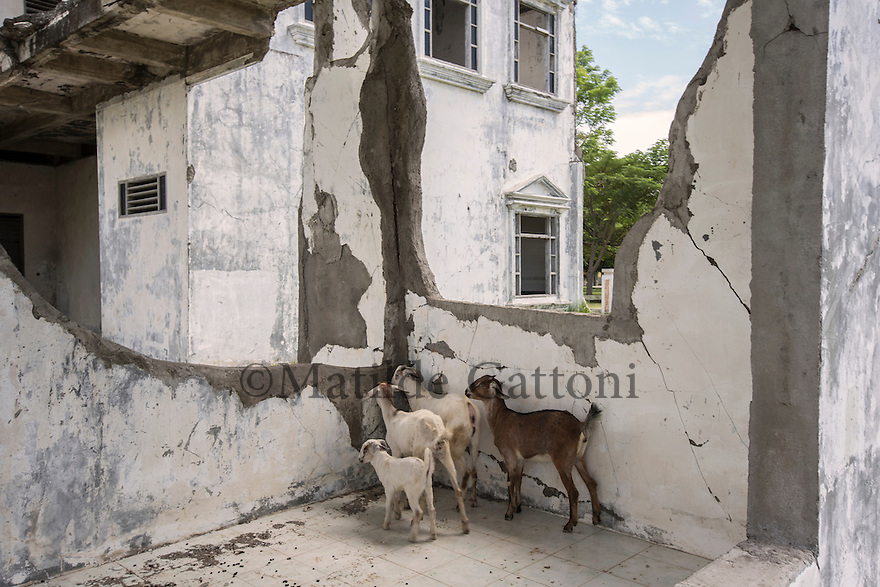 Indonesia - Sumatra - Banda Aceh - Ulee Lheue - A few goats find shelter in what is left of a hospital destroyed by the tsunami.