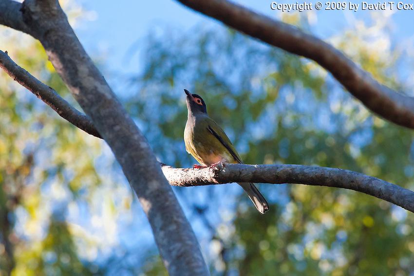 Australasian Figbird, 1770 ocean trail, Queensland, Australia