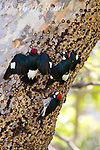 Acorn Woodpeckers (Melanerpes formicivorus) at granary tree, two giving spread-winged (greeting) display, Orange County, California, USA.
