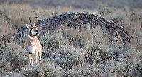 A pronghorn buck exhibits the Flehmen response, as he judges whether nearby females are ready to mate.
