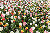 Hollande, région des champs de fleurs, Lisse, Keukenhof, tapis de tulipes composé de tulipe triumph 'Hemisphere', tulipe triumph 'India Summer', tulipe fosteriana 'Flaming Purissima', tulipes fosteriana 'Purissima' // Mix of tulips triumph 'Hemisphere', tulips triumph 'India Summer', tulips fosteriana 'Flaming Purissima', tulips fosteriana 'Purissima'.