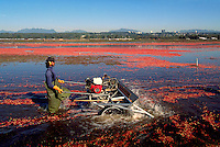 Richmond, BC, British Columbia, Canada - Agricultural Worker harvesting Cranberries (Vaccinium macrocarpon) with Water Reel in Bog Field on Cranberry Farm
