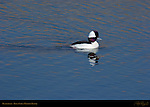Bufflehead Male, Goldeneye, Bolsa Chica Wildlife Refuge, Southern California