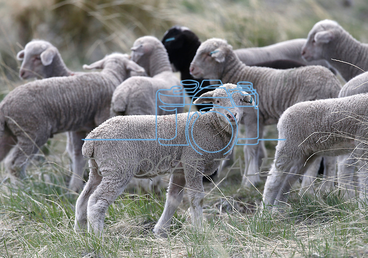 Approximately 2,000 sheep have arrived on the westside of Carson City as part of the annual fuels-reduction program, on Monday, April 15, 2019. The program pairs Borda Land and Sheep Company with Carson City Parks, Recreation and Open Space, covering about 2,000 acres over 6-weeks.   <br /> Photo by Cathleen Allison/Nevada Momentum