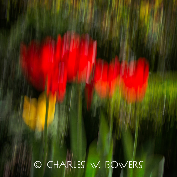 Tulips are ablur with the red and yellow of spring.
