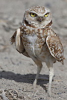 Owl - Burrowing