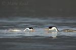 "Clark's Grebes (Aechmophorus clarkii) pair swimming toward each other with heads lowered before starting""rushing"" courtship display, Escondido, California, USA"