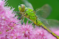Female Western Pondhawk (Erythemis collocata) dragonfly on western spiraea (Spiraea douglasii).  Pacific Northwest.  Summer.