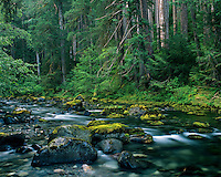 Small stream among old growth douglas fir forest, Pacific N.W.