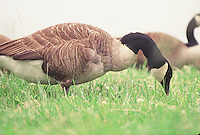 Canada Goose on the grass in Washington DC.