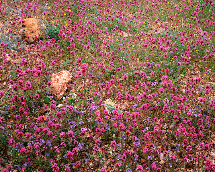 Field of Owl Clover (Orthocarpus purpurascens) and Phacelia (P. crenulata) along Puerto Blanco Drive; Organpipe Cactus National Monument, AZ
