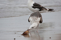 Mantelmöwe, Jungtier am Strand mit erbeutetem Krebs, Krabbe, Taschenkrebs, Mantel-Möwe, Mantelmöve, Mantel-Möve, Möwe, Möve, Larus marinus, great black-backed gull