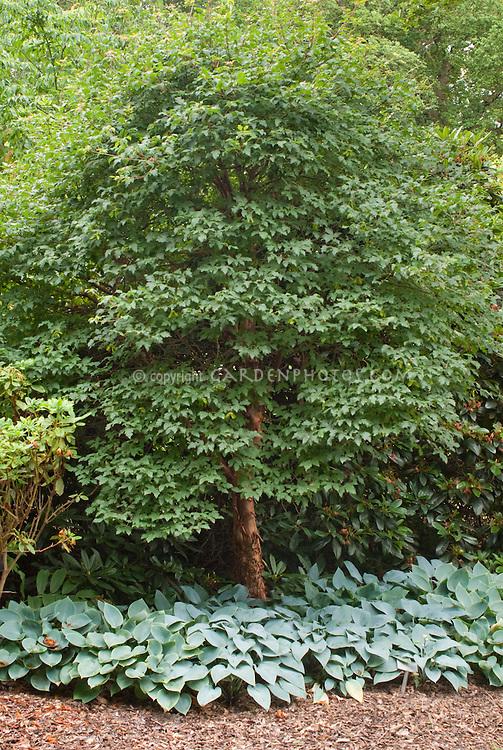 Acer griseum, Hosta Tardiana Group