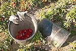 Buckets with peppers and gloves, organic red bell pepper harvest by migrant workers near San Lucas, in the Salinas Valley of California..