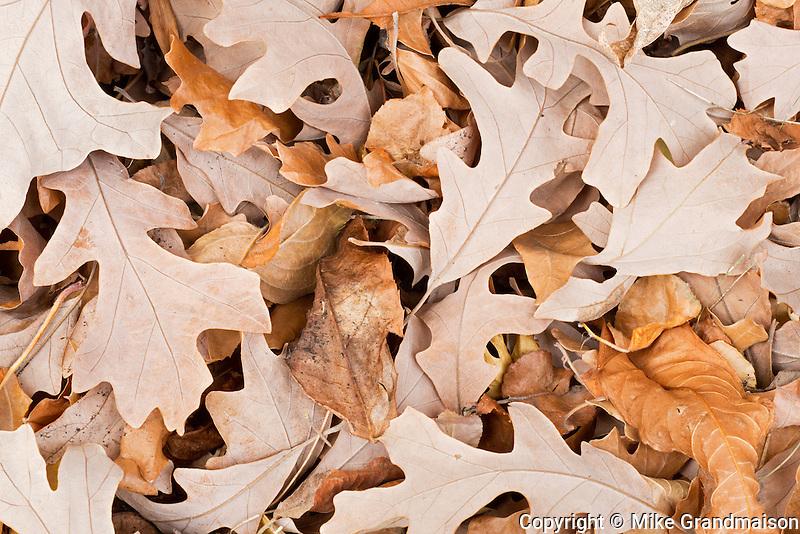 Bur oak (Quercus macrocarpa) in autumn<br /> Winnipeg<br /> Manitoba<br /> Canada