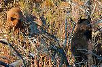 Black Bear Cubs, Black and Cinnamon Cub, Elk Creek, Yellowstone National Park, Wyoming