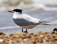 Royal tern in breeding plumage