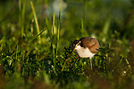 Wattled Jacana (Jacana jacana) chick, Ibera Provincial Reserve, Ibera Wetlands, Argentina