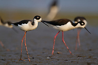 Juvenule and adult Black-necked Stilts (Himantopus mexicanus) foraging in a restored wetland at Audubon's Paul J. Rainey Sanctuary. Vermilion Parrish, Louisiana.